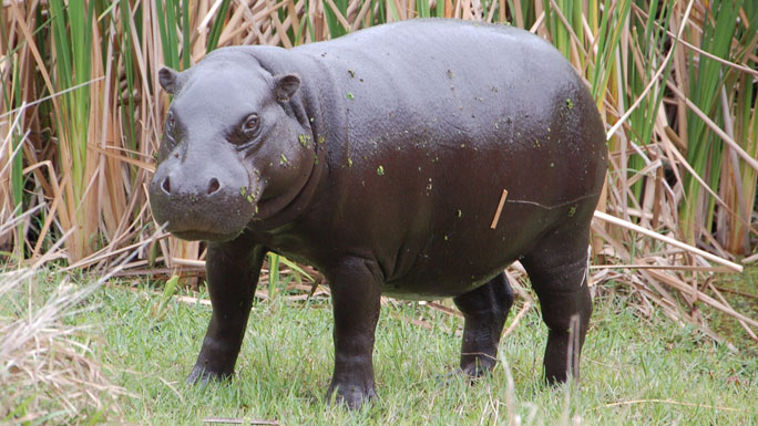 Photo of a Pgymy Hippo.