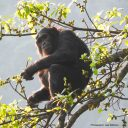 Endangered chimpanzee conservation
