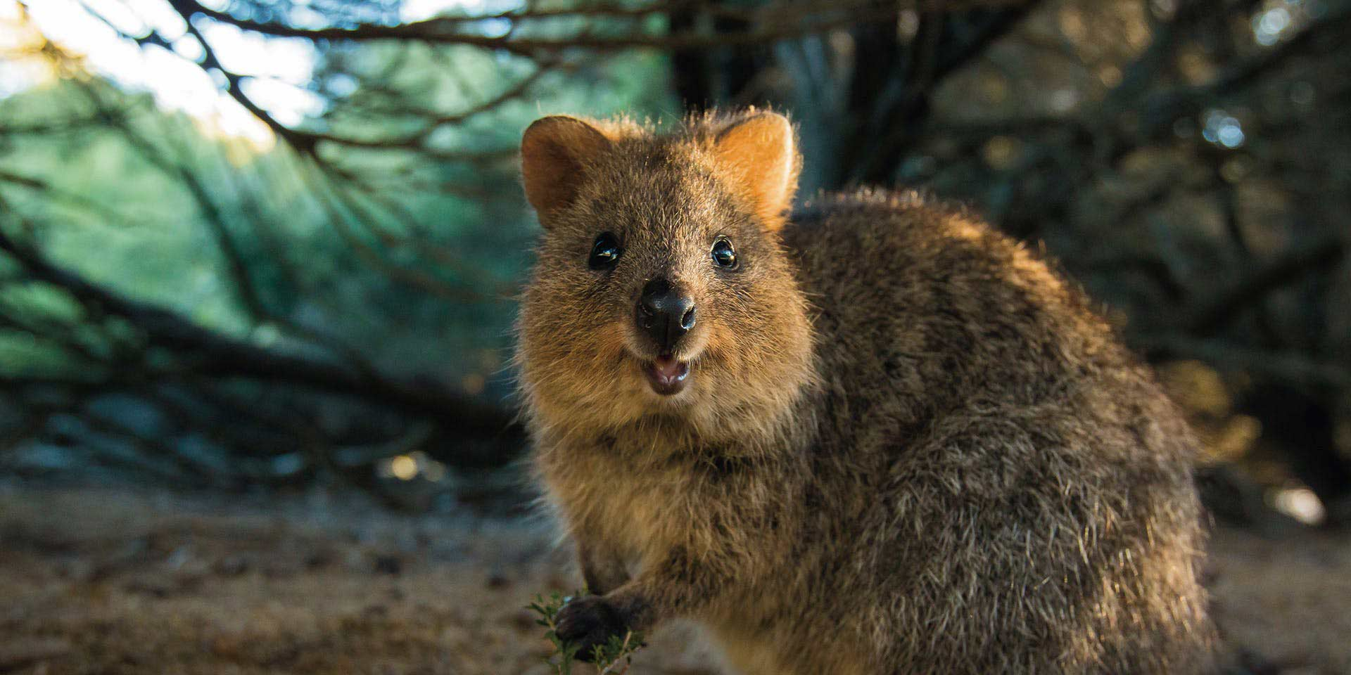 Quokka - Our Treasure